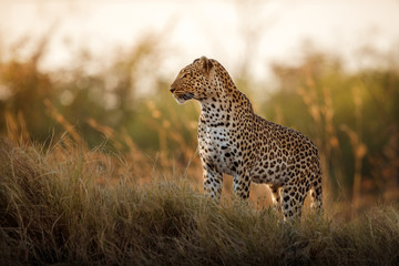 Foto auf Leinwand Leopard African leopard female pose in beautiful evening light. Amazing leopard in the nature habitat. Wildlife scene with dangerous beast. Hot weather in Africa. Panthera pardus pardus.