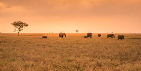 African Elephant Herd in the savannah of Serengeti at sunset. Acacia trees on the plains in Serengeti National Park, Tanzania.  Wildlife Safari trip in  Africa.