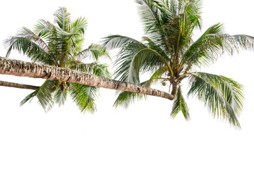 Coconut palms isolated on white background
