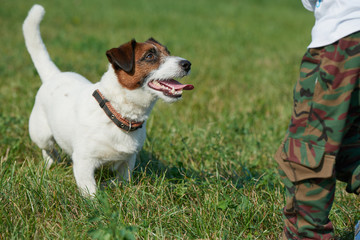 dog runs around the field breed Jack Russell Terrier