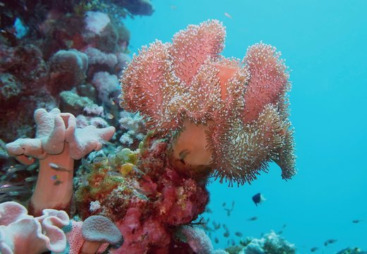 Underwater scenery with soft coral -Rough leather coral, Sarcophyton Glaucum