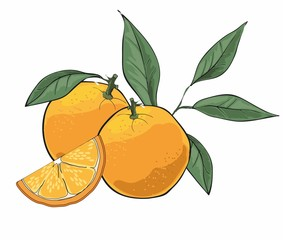 Hand drawn oranges with leaves isolated on white background.
