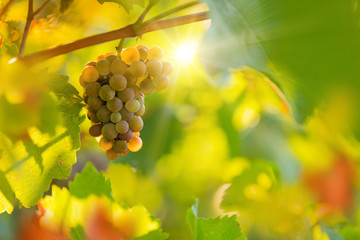 Bunch of grapes on a vineyard during sunset.