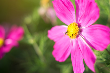 Fototapete - Pink cosmos flower with insect full bloom in field with sunlight background. Selective focus.
