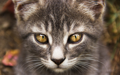 Young gray cat with beautiful eyes. Gray cat with yellow eyes. Cat's eyes