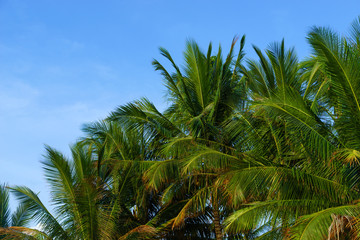 Green Tropical Coconut Palm Trees at Tropical Coast