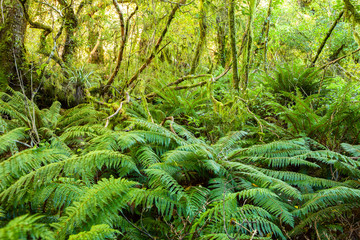 Dense thicket in the temperate rainforest, South Island, New Zealand.