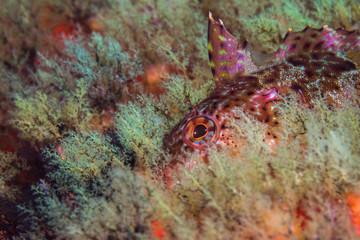 Super Klipfish (Clinus superciliosus) underwater closeup of a multi color fish hiding on the reef.
