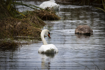 Beautiful Swans Swimming in a River