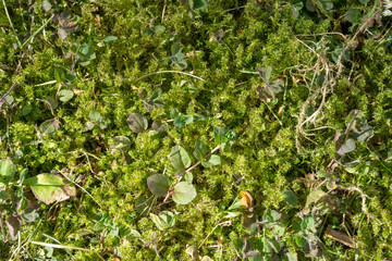 Background / Texture of moss on the forest ground