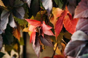 Colorful Autumn Wild Grape Background. Abstract Purple, Green, Red and Orange Autumn Leaves Background.
