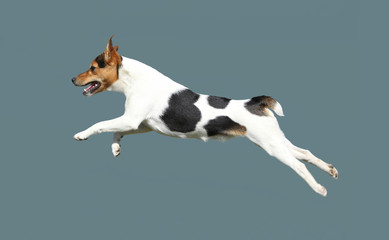 Leap dog terrier breed.