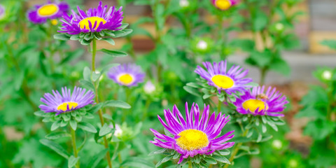 purple daisies in the garden. natural wallpaper. background for design