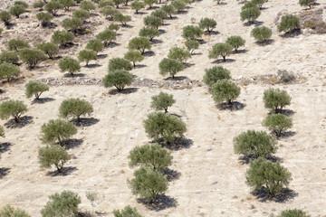 Olivenbäume auf der Insel Kreta, Griechanland