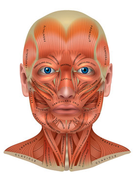 Head, face and neck muscles anatomy diagram with names