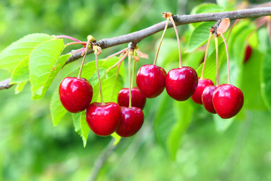 Sweet cherries on branch