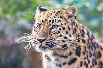 Photo sur Plexiglas Leopard Amur leopard in sunlight