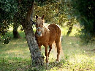 Cute brown pony portrait, tied to a tree