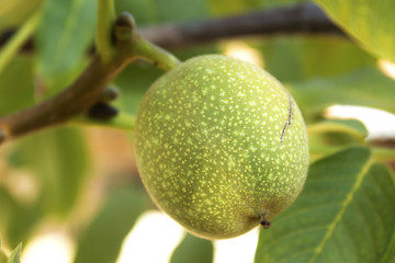 organic green immature big walnut