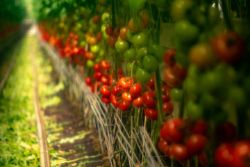 Soft filter effect. Dutch bio farming, big greenhouse with tomato plants, growing indoor, ripe and unripe tomatoes on vines Wall mural