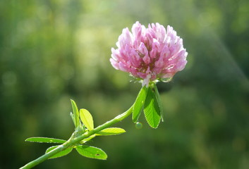 Clover flower with water drops close-up on a Sunny day against a green meadow