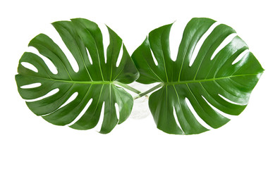 Monstera leaves exotic plant white background top view