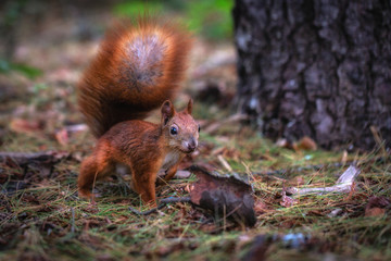 Squirrel in the woods in search of food