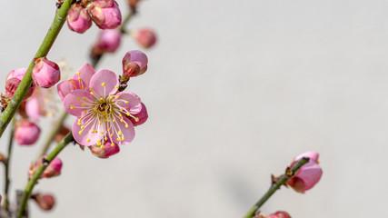 Ume blossom  Ume tree Pink flowers