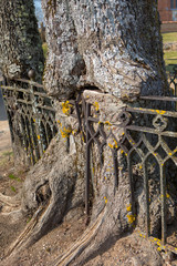 Tree with wrought metal fence grown into