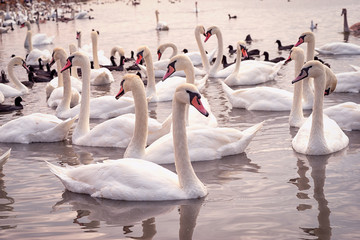 group of white swans on the lake