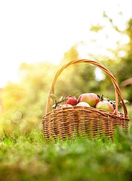 Freshly harvested Apples. Apples in grass
