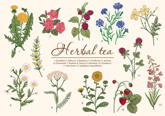 Wild flowers. Herbal tea. Vector illustration.