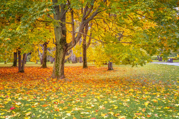 Autumn landscape with maple trees with colored leaves and fallen bright foliage on the grass in the park.
