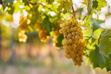 Vineyard at sunrise, close up of yellow grapes on grapevine