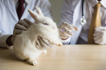 feeding medicine to sick white adorable rabbit by syringe on the table. Scientist doing animal experiment in lab. Mammal Health care concept.