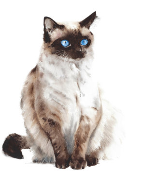 Cat sitting Siamese breed snow shoe stretching pet watercolor painting illustration isolated on white background
