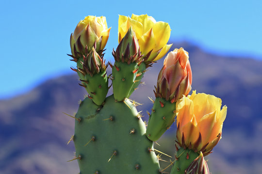 Yellow prickly pear flowers in bloom
