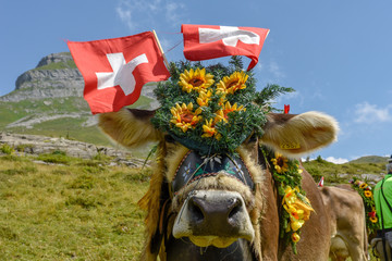 Aluminium Prints Cow Decorated cow on the annual transhumance at Engstlenalp on Switzerland