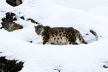 Wall Mural - Snow Leopard