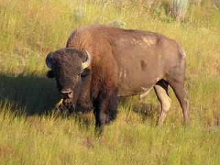 American bison in National Bison Range, Montana, USA