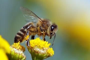 Foto op Textielframe Bee bee or honeybee in Latin Apis Mellifera