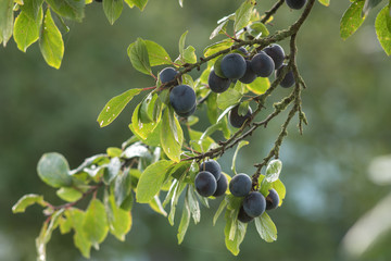 some fruits of plums on a tree branch.