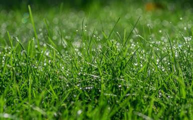 Obraz rosa na trawie - fototapety do salonu