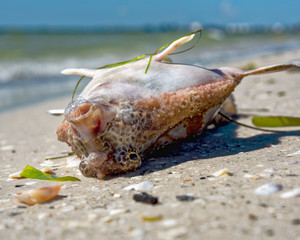 Red tide washed big fish onto beach, blowing bubbles