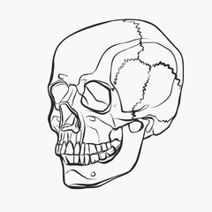 Skull pattern in line drawn style. Vector black and white illustration of human skull for tattoo or background of banner.