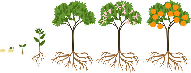Life cycle of orange tree. Stages of growth from seed and sprout to adult plant with fruits