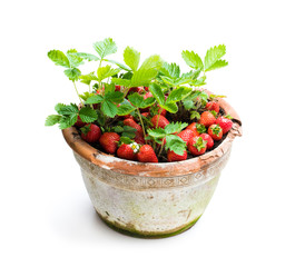 Strawberry  plant with berries in pot isolated on white