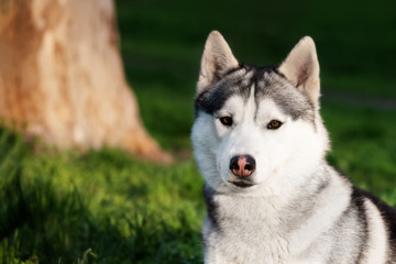 A close-up portrait of Siberian husky at the city park at evening. A grey & white male husky dog lies on green grass. He has brown eyes. A big tree trunk and a lot of greenery are in the background.