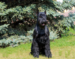 Giant Schnauzer in full face. The Giant Schnauzer stands on the green grass in city park.