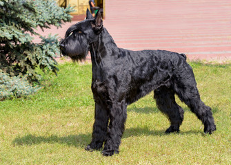 Giant Schnauzer looks ahead. The Giant Schnauzer stands on the green grass in city park.